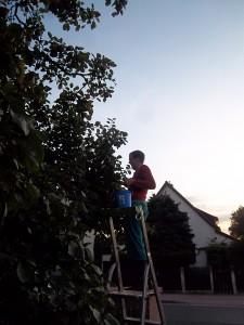 Apfelernte am Abend