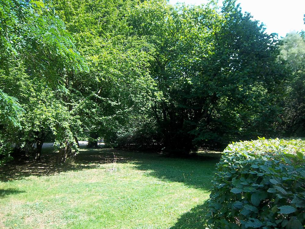 Kornelkirsche als Baumgruppe