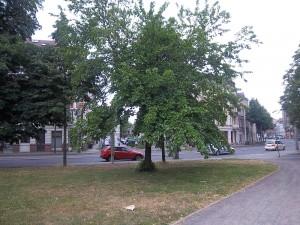 Maulbeere im Ramdohrschen Park